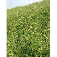 Cd 0.1ppm Astragalus Membranaceus Extract 10% Astragaloside IV 1.6% Cycloastragenol Manufactures