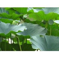 Quality Lotus leaf Weight Losing Raw Materials Nuciferine Cas no.475-83-2 for sale
