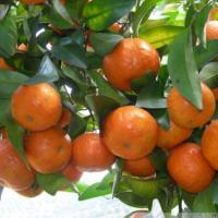 China Citrus Fruit Sugar Baby Mandarin on sale