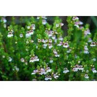 China Eyebright Extract, Euphrasia officinalis extract, 10:1 TLC. stock available, Chinese manufacturer, Shaanxi Yongyuan Bio on sale