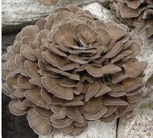 Maitake mushrooms for sale