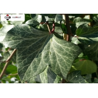 GMP Powder Asthma Treatment Ivy Leaf Extract Manufactures