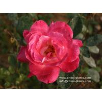 chinese rose for sale Manufactures