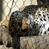 Buy cheap Custom-made 304 Silver Stainless Steel Zoo Mesh For Animals-Leopard Protection from wholesalers
