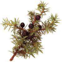 Juniper berry  extract Manufactures