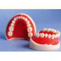 China White and Red Standard Upper and Lower Jaw Teeth Model for Schools Training on sale
