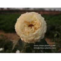 professionally export bare root roses in china Manufactures