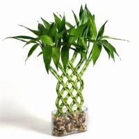 Indoor Lucky Bamboo (Plant and tree Nursery) Manufactures