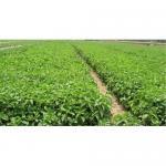 Stevia Leaf Extract Stevioside Rebaudioside A Manufactures
