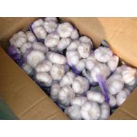 Normal Garlic With Low Price Manufactures