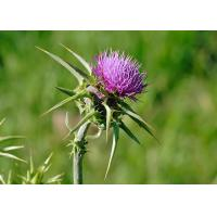 Natural 80% Silymarin Milk Thistle Extract Used to detoxify and reduce the blood fat Manufactures