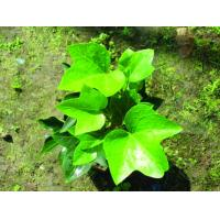 best quality chinese ivy extract --Hedera nepalensis K,Koch var.sinensis Manufactures