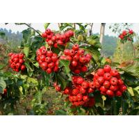 Popular Herbal hawthorn leaf extract with flavone 5%-80% hawthorn leaf extract Manufactures