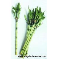 Lucky Bamboo for Feng Shui Manufactures