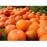 Pumpkin   Extract Manufactures