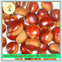 China Hot Sell 10kg Mesh bag Packaging Chinese Fresh chestnut (40-60Pcs/kg) on sale