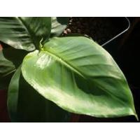 Banaba leaf extract Manufactures