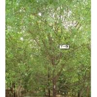 Quality Sandalwood Essential oil for sale