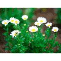 Quality Pyrethrum 50%SL Biopesticides Natural CAS No 8003-34-7 For Flower for sale
