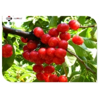 Red Fine Powder Antioxidant Pure Cranberry Extract Manufactures