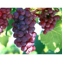 Supply Grape Seed Extract Powder 95% Polyphenols UV Manufactures