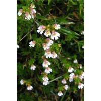 China Eyebright Extract on sale