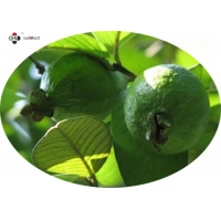 Fine Powder Anti Radiation Guava Fruit Extract Manufactures