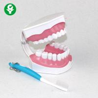 Dental Study Tooth Anatomy Model Oral Demonstration Plastic Removable Manufactures