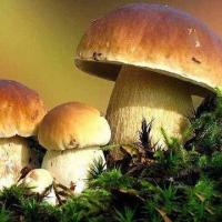 Boletus Edulis, Available in Fresh/Dried/Sliced/Frozen Types Manufactures
