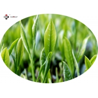 Anti Radiation 25% Polyphenols Green Tea Leaf Extract Manufactures