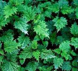 Nettle root extract 95%, 3 4-divanillyltetrahydrofuran Manufactures