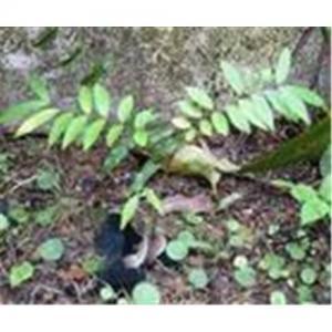 China Eurycoma longifolia Jack extract on sale