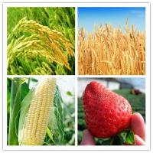 Non Phytotoxic Plant Growth Regulators Paclobutrazol 10% WP  Improve Fruit Set Manufactures