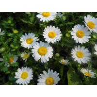 China feverfew herb extract /high quality feverfew extracts / 100% natural feverfew extract on sale