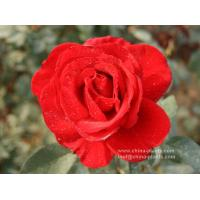 supplier of rose bare roots Manufactures