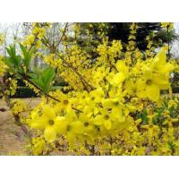 China Fructus Forsythiae Chinese Herbal Medicines on sale
