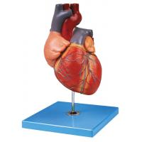 Hand Painted Adult  Heart Human Anatomy Model Shows Aortic Arch , Atrium , Ventricle Manufactures