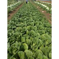 Good Taste Flat Head Cabbage For Frying / Simmering / Mixing / Simmering Manufactures