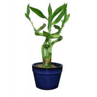 Indoor house plant Spiral Lucky Bamboo (Dracaena sanderiana) Manufactures