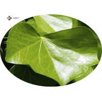 Brown Powder 10% Hederacosides Ivy Leaf Extract Manufactures
