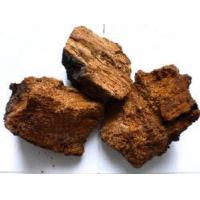 China Chaga Mushroom Extract (Wangfeng_618 AT Hotmail Com) on sale