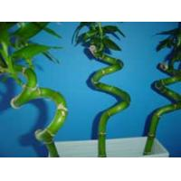 Indoor Spiral Lucky Bamboo Plant Nursery Manufactures