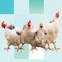 Complex Enzymes for Poultry
