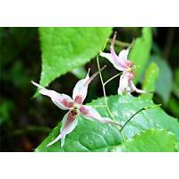 Epimedium extract Manufactures
