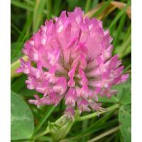 Supply Red Clover Extract Powder Total lsoflavones 8%- 40% Manufactures