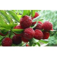 Bayberry Bark Extract, Myricetin 60%,80%,90%,98% Manufactures