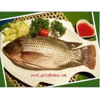 China Frozen tilapia gutted&scaled on sale