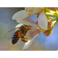 What is bee pollen?? Manufactures