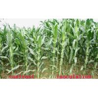 Bio-Fertilizer Exclusively For Corn Effect of Product Application Manufactures