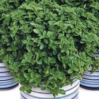 New For 2013! Herb: Greek Oregano Manufactures